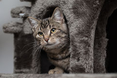 Cat hiding in a cat tree Royalty Free Stock Photos