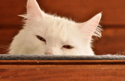 Cat hiding Royalty Free Stock Photography