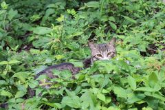 Cat hiding in the foliage. Grey black and white tabby cat hiding in the green foliage Royalty Free Stock Photography