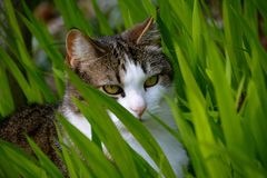 CAT HIDING IN THE GRASS. ISABEL HIDING IN THE TALL PLANTS HOPING TO CATCH A BIRD Royalty Free Stock Photography