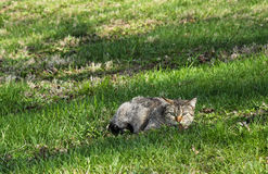 Cat Hiding. A cat hiding in the grass watching it's prey royalty free stock photography