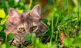 Cat hiding in green grass royalty free stock photography