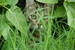 Cat hiding in the leaves ang grass Royalty Free Stock Image