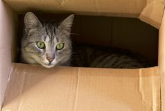 Cat hiding in paper box, curious kitten in the box. A cat plays hide and seek in a cardboard box. A cat plays and hiding in a card Royalty Free Stock Photos