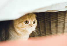 Cat hiding. Red cat hiding under the bed. Kitty, hunting, pet. scottishfold, surprised Stock Photography