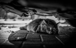 Cat hiding in the shade under a car royalty free stock image