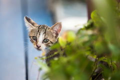 Cat hiding. Small cat hiding behind a bush Royalty Free Stock Photo