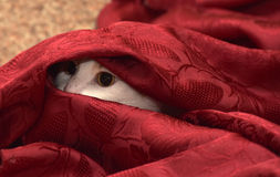 Cat hiding. Under a blanket Stock Images