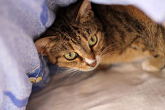 Cat. Hiding under the quilt on the bed Stock Image