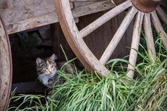 Cat Hiding Under Rustic Wagon. A calico cat peering out from behind the wooden wheel of an old, rustic wagon royalty free stock images