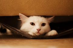 Cat hiding Royalty Free Stock Photos