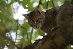 Cat high up in tree look down Royalty Free Stock Photography