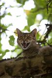 Cat high up in tree meow. And shows teeth Royalty Free Stock Photos