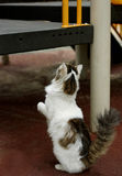 Cat on hind legs Royalty Free Stock Photo