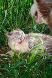 Cat hisses baring fangs defending himself from the dog. Concept of aggression and hostility between cats and dogs. High Angle View royalty free stock photo