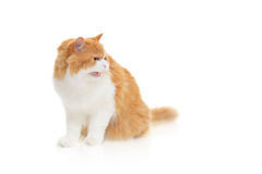 Cat hissing Royalty Free Stock Photography