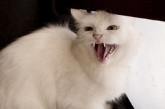 Cat hissing Stock Images