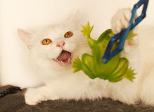 Cat hissing Stock Image