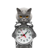 Cat holding an alarm clock in his paws. Isolated on white royalty free stock photos