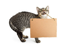 Cat Holding Blank Sign in Mouth. Young tabby cat holding blank cardboard sign in mouth stock photos