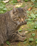 Cat holding a dead mouse in mouth Royalty Free Stock Photos