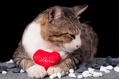 Cat holding red heart shaped love with black background. Picture of Cat holding red heart shaped love with black background Royalty Free Stock Image