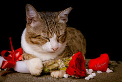 Cat holding red Rose with black background. Picture of Cat holding red Rose with black background Royalty Free Stock Images