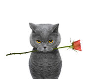 Cat holding a rose in its mouth. On white background royalty free stock images