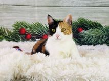 Cat holiday pictures kitten. Cat Christmas kitten royalty free stock photo