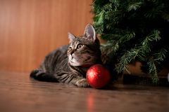 Cat with holiday toy. Cat with holiday red toy Stock Photography