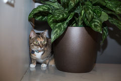 Cat at home. Cat on the prowl in apartment Royalty Free Stock Photo