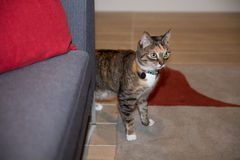 Cat at home. Cat on the prowl in apartment Stock Photography