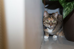 Cat at home. Cat on the prowl in apartment Stock Images