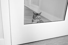 Cat at home. Cat on the prowl in apartment Royalty Free Stock Photography