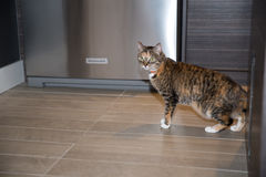 Cat at home. Cat on the prowl in apartment Stock Image