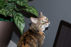 Cat at home. Cat on the prowl in apartment Stock Photos