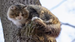 Cat homeless, gray and white coloring with long hair sitting on a branch of an old tree