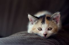 Cat. Looking honest, maybe sadly.Brown. White. Black. Green eyes Royalty Free Stock Photos