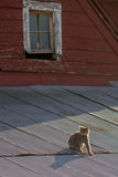 Cat on a Hot Tin Roof. Cat on a tin roof of a red barn Stock Image