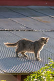 Cat on a Hot Tin Roof. Cat on a tin roof of a red barn Royalty Free Stock Images
