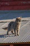 Cat on a Hot Tin Roof. Cat on a tin roof of a red barn Stock Images