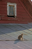 Cat on a Hot Tin Roof. Cat on a tin roof of a red barn Royalty Free Stock Photography