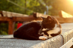 Cat On A Hot Tin Roof in Sunset Royalty Free Stock Photo