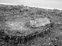 Cat on a huge stump. The cat lies on the huge stump and looks. Black-and-white image Royalty Free Stock Photo