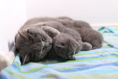 Cat hugging her babies. British Shorthair cat breastfeeding her kittens, newly born babies royalty free stock images