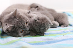 Cat hugging her babies. British Shorthair cat breastfeeding her kittens, newly born babies royalty free stock image