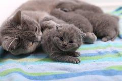 Cat hugging her babies. British Shorthair cat breastfeeding her kittens, newly born babies stock photos