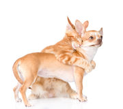 cat hugs and bites puppy.  on white background Royalty Free Stock Photos