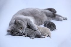 Cat hugs her new borns, first day of life. British Shorthair mom cat takes care of her kittens, white background, isolated family portrait royalty free stock images