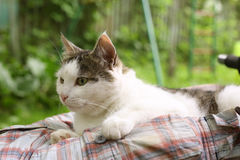 Cat on human lap close up photo on summer green Stock Images